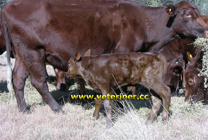 Red poll Sığır ırkı ( www.veteriner.cc )